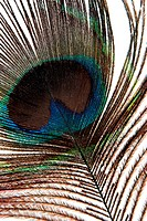 Detail of peacock feather
