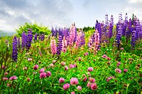 Purple and pink wildflowers
