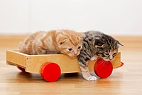 Germany, Kittens sitting on wooden toy, close up