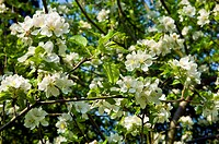 apple blossom on tree springtime england uk