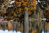 Germany, Upper Bavaria, View of birch trees and lake