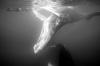 Humpback Whale and Free Diver, Megaptera novaeangliae, Silver Bank, Atlantic Ocean, Dominican Republic