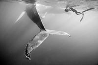 Humpback Whale and Photographer, Megaptera novaeangliae, Silver Bank, Atlantic Ocean, Dominican Republic