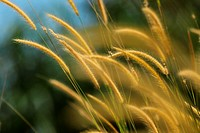 pampas grass of Borneo, borneo