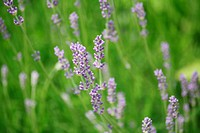 Lavender _ Lavendula angustifolia _ seems easily calming and stimulates the circulation of the skin _ calmative and perfusion promoting