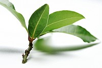 bay leaf on white ground _ blurred