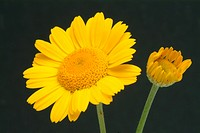 Yellow camomile _ golden marguerite _ medicinal plant _ herb _ dye stuff _ Anthemis tinctoria _ Camomilla per tintori _