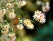 Canadian Fleabane against bleedings and diarrhea