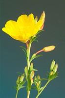 Oenothera biennis _ Evening primrose _ medicinal plant _ herb _ cosmetical industry _ Enagra comune