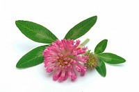 Red Clover _ Trifolium pratense _ Trifolgio dei Prati _ rosso _