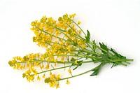 Colza, Rape, Turnip, food, foodplant, oilplant, agriculture, Colza, pianta medicinale