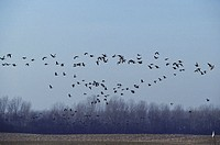 Migratory birds fly over a field