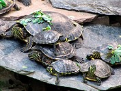 Yellow-bellied Slider Turtles (Trachemys scripta scripta) in the Garden, Atocha Railway Station, Madrid, Spain