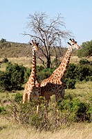 two giraffes on the grassland