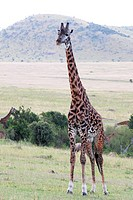 A giraffe in Kenya ,Africa