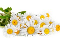 Fresh chamomile flowers on the white background