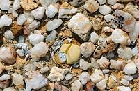 Argyroderma sp. mit Samenkapsel im typischen Knersvlakte_Biotop umgeben von Quarzsteinen, Knersvlakte, Western Cape, Namakwaland, Südafrika / Argyrode...