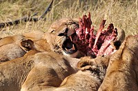Kill of a babby buffalo Syncerus caffer by a pride of lions panthera leo in Moremi National Park, Botswana