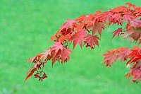 A maple tree with red leaves in Canada
