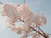 Peach blossom in Xixi of Hangzhou,Zhejing,China