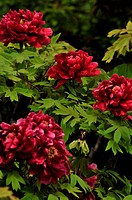 a close_up view of the blooming red peonies in leaves