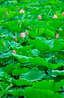 lotuses in the pond