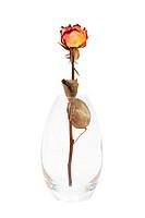 dry rose in the vase