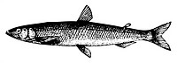 Old engraved illustration of a Old engraving of a European smelt fish or osmerus eperlanus, isolated on white  Live traced  From the Trousset encyclop...