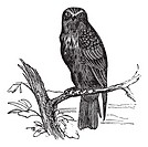 Eurasian Hobby or Falco subbuteo, vintage engraving  Old engraved illustration of Eurasian Hobby waiting on a branch