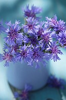 Corn flowers bunch in a vase