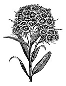 Carnation Barbu Dianthus barbatus or Sweet William  vintage engraved illustration  Trousset encyclopedia 1886 - 1891