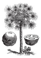 Sugar palm or Borassus flabellifer, vintage engraved illustration, showing whole fruit left and fruit cross-section right  Trousset encyclopedia 1886 ...