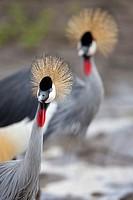 Grey Crowned Crane Balearica regulorum, portrait, Serengeti National Park, Tanzania