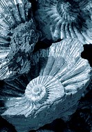 fossilized ammonites