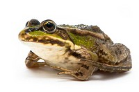 Rana ridibunda. Frog on white background