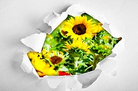 Sunflowers through hole in paper
