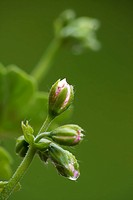 Ivy geranium buds in bloom period