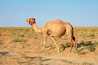 Dromedary is on the steppe. Close_up. Evening.