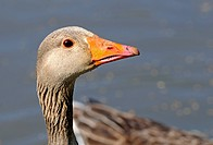 Portrait of Greylag goose