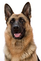 Portrait of German Shepherd Dog Front
