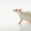 White mouse on white background, studio shot