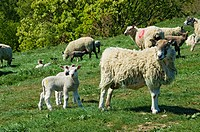 England, North Yorkshire. Ewes and lambs in a field in spring.