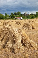 England, Somerset, North Curry. Traditional stitches of wheat drying in a field.