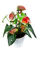 Anthurium on white background