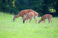 A white-tailed deer family in the woodlands of the Poconos mountains