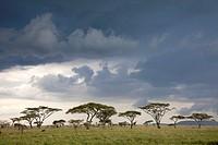 savannah with upcoming thunderstorm, Serengeti National Park, Tanzania