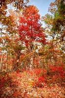 red tree in autumn forest