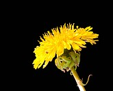 Yellow dandelion flower with water drops