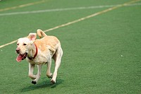 Labrador dog running