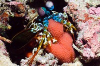 Mantis shrimp Odontodactylus scyllarus holding its eggs  Manado, North Sulawesi, Indonesia